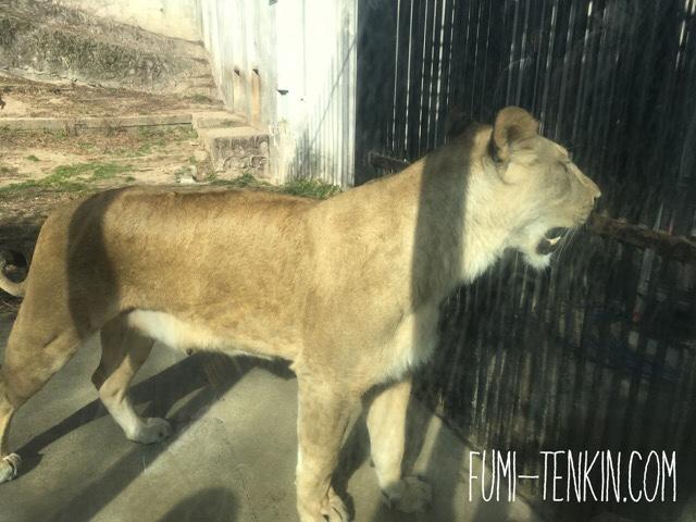 安佐動物公園のライオンの赤ちゃん母ライオンの様子
