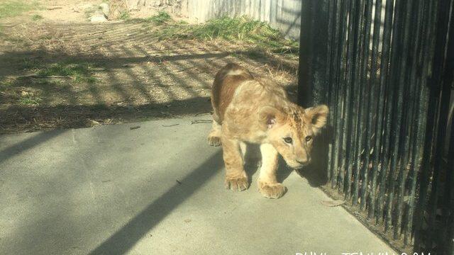 安佐動物公園のライオンの赤ちゃん