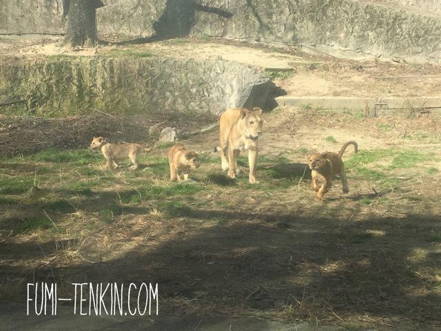 安佐動物公園のライオンの赤ちゃんの様子