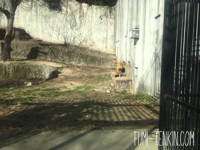安佐動物公園ライオンの赤ちゃんの出てくる様子