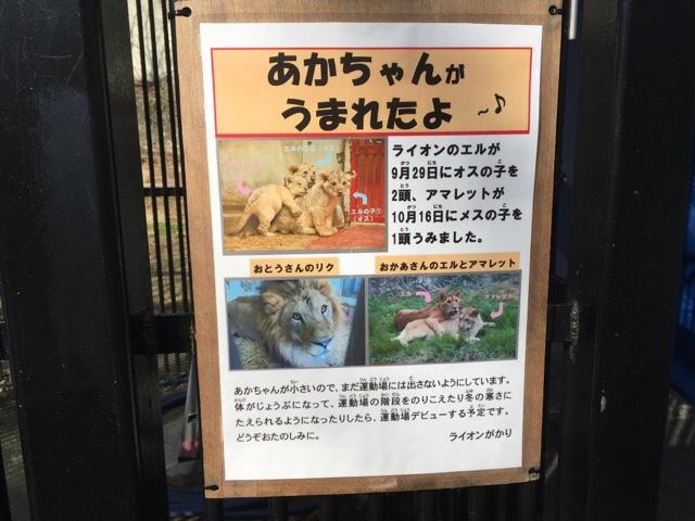 安佐動物公園のライオンの赤ちゃん展示のおすすめビューポイント